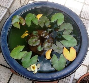 水鉢のスイレン.jpg